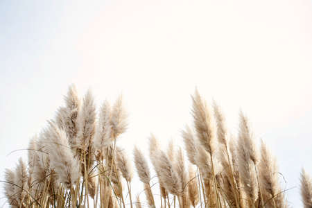 Pampas grass in the sky, Abstract natural background of soft plants Cortaderia selloana moving in the wind. Bright and clear scene of plants similar to feather dusters. 免版税图像