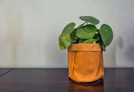 pancake plant, pilea peperomioides in brown sack, retro modern decoration for home interior space for text