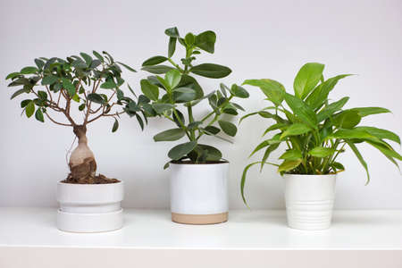 Three ceramic white pots near white wall with modern green houseplant retro design, scandinavian style plant