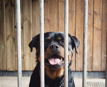 Cute happy dog behind fence, Rottweiler in cage, portrait of beautiful pet locked