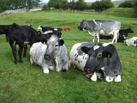 grassing: Cows