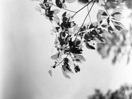 Leave on Black & White Film Banco de Imagens