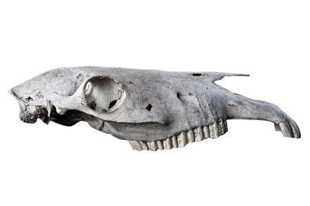 skull biology: Animal skull