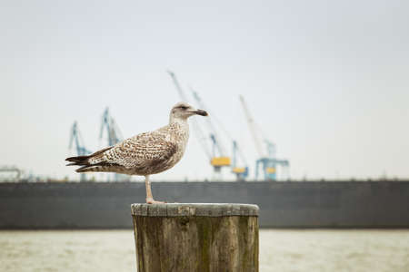 Seagull in St. Pauli, Hamburg with floating dock and cranes in the background Stock Photo