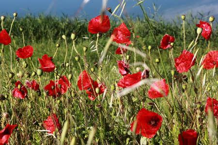 hapiness: Poppies