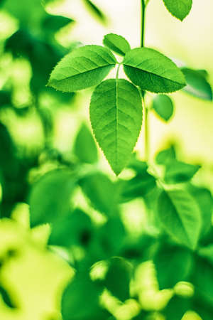 Fresh green leaves in spring - saving nature, healthy environment and bioenergy concept. The best time to plant a tree is now Stock Photo - 119837849