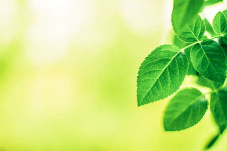 Fresh green leaves in spring - saving nature, healthy environment and bioenergy concept. The best time to plant a tree is now Stock Photo