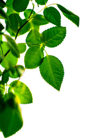 Fresh green leaves in spring - saving nature, healthy environment and bioenergy concept. The best time to plant a tree is now Stock Photo - 119976724