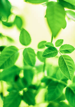 Fresh green leaves in spring - saving nature, healthy environment and bioenergy concept. The best time to plant a tree is now Stock Photo - 119896700