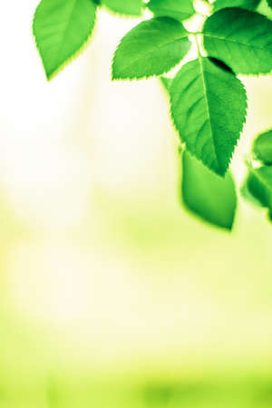 Fresh green leaves in spring - saving nature, healthy environment and bioenergy concept. The best time to plant a tree is now Stock Photo - 119836267