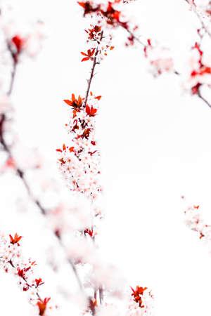 Botanische schoonheid, droomtuin en natuurlijk landschapsconcept - Bloemenbloesem in de lente, roze bloemen als aardachtergrond
