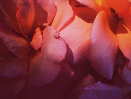 Flores de jardín, hermosa naturaleza y concepto de vacaciones románticas - Maravillosa flor rosa floreciente al atardecer, fondo de belleza floral