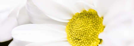 Spring daisy flower in nature, floral art and botanical garden as background