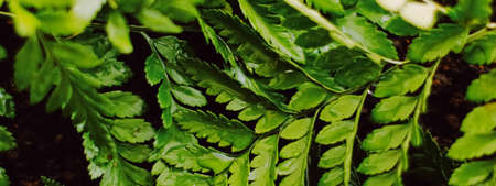 Tropical plant leaves in garden as botanical background, nature and environment close-up