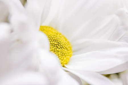Spring daisy flower in nature, floral art and botanical garden as background Banco de Imagens