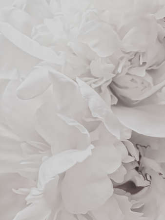 White peony flower as abstract floral background for holiday branding design