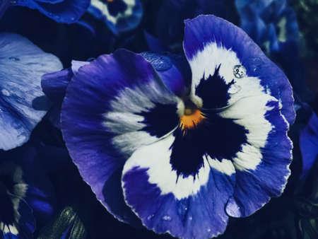 Blue flower on dark background, floral and nature concept Standard-Bild
