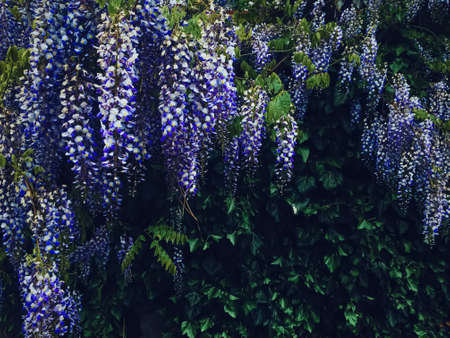 Blue wisteria flowers and leaves in botanical garden as floral background, nature and flowering scenery Banque d'images