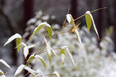 close p: bamboo in winter Stock Photo