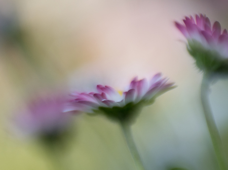 Close up macro or three daisies on bokeh background