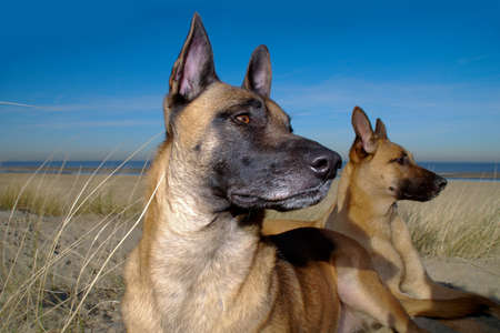 twee: Twee Mechelse herders in de duinen
