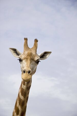 Close up of giraffe, only head and neck, set against blue sky, looking at the camera Stock Photo - 7389802