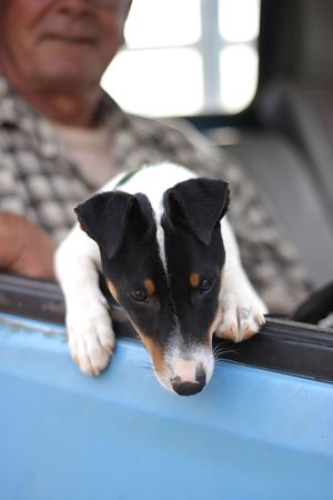 A small mixed breed puppy, predominantly a terrier, is peeping out of his masters blue pick up truck photo