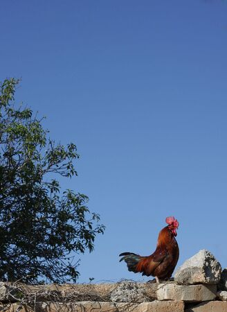 countrylife: A cockerel standing proud on a wall against a blue sky. Space for text Stock Photo