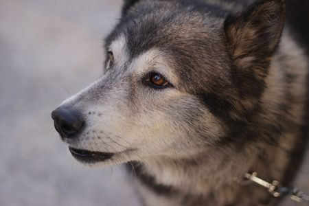Close up A brown eyed Siberian Husky on a chain Stock Photo - 7444458