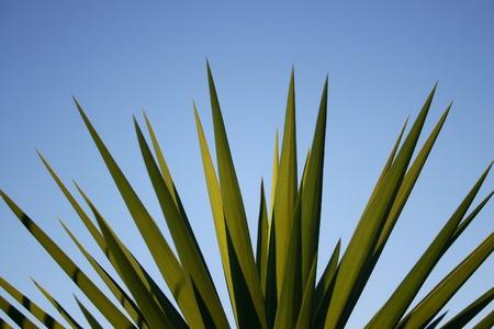 agave: Cerca de una palmera de yuca contra el cielo azul. Espacio para texto Foto de archivo