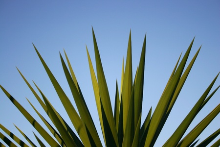 Close up of a yucca palm against blue sky. Space for text Stock Photo