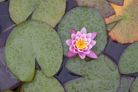 Water lily and petals, with waterdrops Stock Photo - 17276440