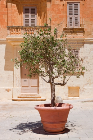 An olive tree planted in a pot and placed on the town square photo