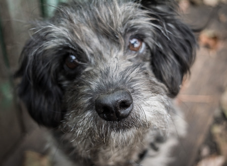 Sad old dog. Gray shaggy crossbreed. Nose close up. Blurring. Stock Photo