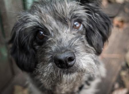 stray: Sad old dog. Gray shaggy crossbreed. Nose close up. Blurring. Stock Photo
