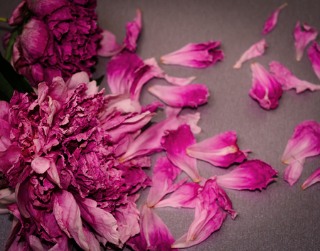 Withered peonies. Died flowers. Concept decay, death, end. Horizontal photo. Stock Photo