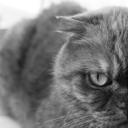 Half face folded cats. Close-up. Beautiful serious animal. Black and white photo.