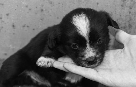 Helping hand for animals. Human palm and little dirty puppy with sad eyes. Cute rectangular black and white photo. Фото со стока