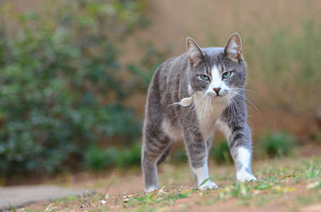 domestic cat: Grey cat walking Domestic