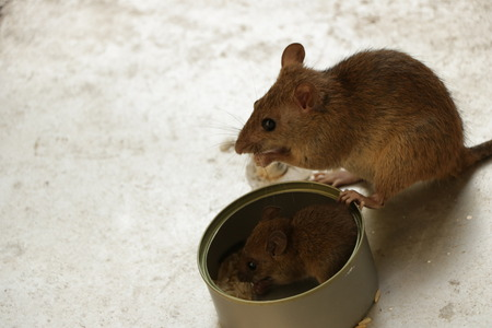 Mother Mouse and her Little Pup Eating Rice by the Tin Can Stock Photo