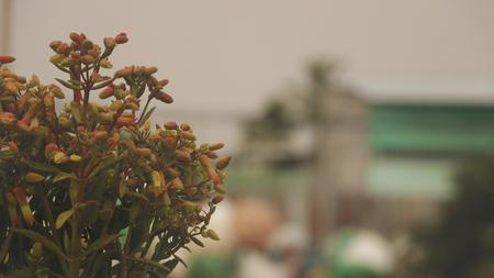 Flowers of Goethe Plant/ Bryophyllum Pinnatum/ Life Plant/ Miracle Leaf - Vietnamese Garden