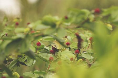 Tiny Pink Wild Flowers Wild Strawberries -Sunny Day in Green Garden Stock Photo