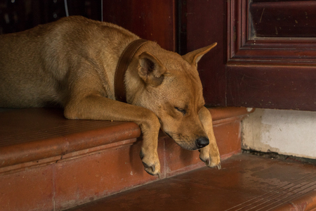 Cute Orange Dog Sitting on Doorstep in Weird Position - Bored Puppy - Analogous Color Scheme. Asian House