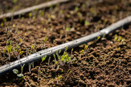 Delicate seedlings pop up near irrigation drip lines to make their spring debut.