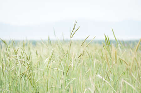 Serene landscape of wheat and grasses in the foreground with a faint view of mountains in the background.