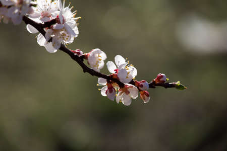 Apricot tree blossom flower. The neutral background.