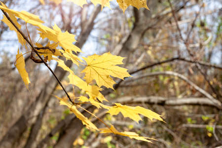 Yellowed leaves on a tree. Sunny weather, autumn.