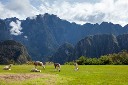 Llamas and alpacas on the lawn on a background of mountains