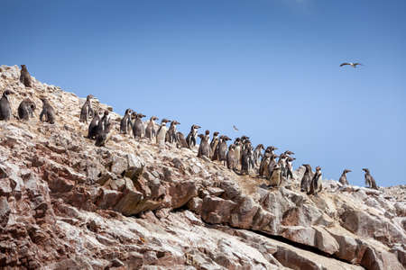 A large group of penguins stands on a rock, Ballestas Islands, Paracas Nature Reserve, Peru, Latin America.