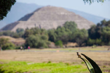 A small bird sits on a agave, in the background a pyramid of the sun, Mexico, Mexico. Aztec landmark, ancient city, pyramids of the moon and the sun 版權商用圖片